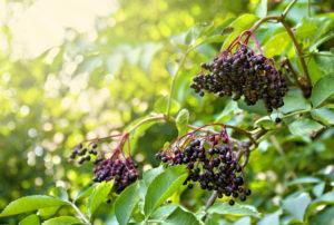 Bez czarny stosowany jest do sporządzania ekstraktów z owoców i naparów kwiatowych (fot. Shutterstock).