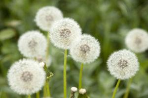 Mniszek lekarski w wielu krajach wykorzystywany jest w prewencji i leczeniu cukrzycy typu 2. (fot. Shutterstock).